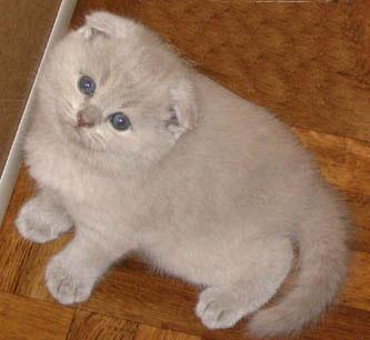 Британские котята, вислоухие котята на фото.